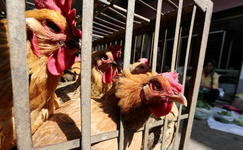 बर्ड फ्लू की आशंका के चलते केरल में मुर्गा -मुर्गियों को मारने केआदेश